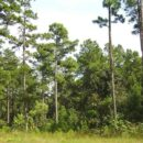 pine trees growth rate